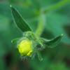 native_buttercup_007
