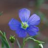 native_flax_002_t.jpg