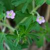 native_geranium_002_t.jpg