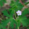native_geranium_004