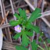 native_geranium_005