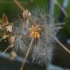 clematis_microphylla_004