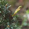 silky_tea_tree_002