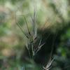 tall_spear_grass_003